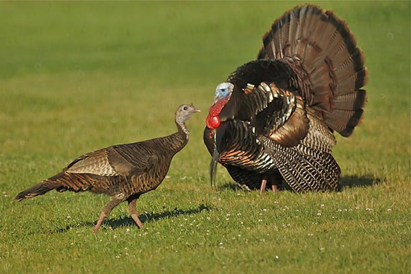 How to Start a Turkey Hunting